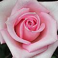 Rose 22 by Terri Winkler