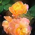 Rose 221 by Pamela Cooper