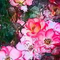 Rose 239 by Pamela Cooper