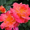 Rose 283 by Pamela Cooper