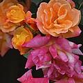 Rose 284 by Pamela Cooper