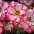 Rose 298 by Pamela Cooper