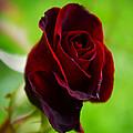 Rose 3 by Ingrid Smith-Johnsen