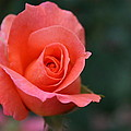 Rose 3 by Joanna Raber
