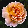 Rose 4 by Ingrid Smith-Johnsen