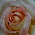 Rose 5 by Joanna Raber