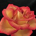 Rose 50 by Terri Winkler