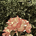 Rose 55 by Pamela Cooper
