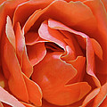 Rose Abstract by Rona Black