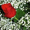 Rose And Baby's Breath by Kathleen Struckle