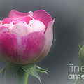 Rose And Bud by Jeremy Hayden