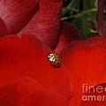 Rose And Ladybug by Jacklyn Duryea Fraizer
