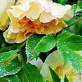 Rose And Leaves On A Rainy Day by Nancy Mueller
