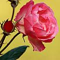 Rose And Rose Buds by Sabrina L Ryan