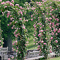 Rose Arbor by Living Color Photography Lorraine Lynch
