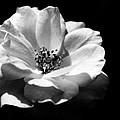 Rose Art by Robin Lynne Schwind