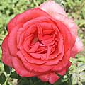 Rose At Clark Gardens by John Telfer