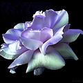 Rose Awakening Floral by Jennie Marie Schell