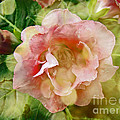 Rose Begonia In Pink by Mother Nature