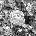 Rose Black by Yury Bashkin