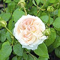 Rose Bloom by Patricia Hiltz