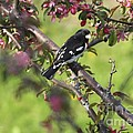 Rose Breasted Grosbeak by Deborah Benoit