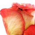 Rose Bud 1 by Joseph Hedaya