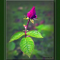 Rose Bud by Brian Wallace