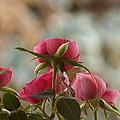 Rose by David S Reynolds