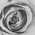 Rose Digital Oil Paint by Vishwanath Bhat