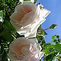 Rose Duo by Sonali Gangane