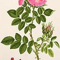 Rose Eglanteria by T Goetz