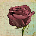 Rose En Variation - S23ct06 by Variance Collections