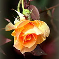 Rose - Flower - Card by Travis Truelove