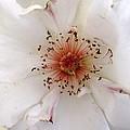 Rose Flower by Joyce Woodhouse