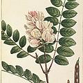 Rose Flowering Locust by British Library
