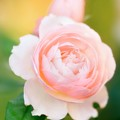 Rose Flowers (rosa Hybrid) by Maria Mosolova/science Photo Library