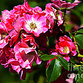 Rose Garden 4 by Susanne Van Hulst