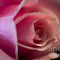 Rose -gentleness by Sandra Clark