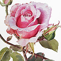 Watercolor Of Pink Rose Grace by Greta Corens