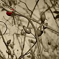 Rose Hips by FL collection