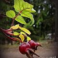 Rose Hips Reaching by Leone Lund