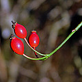 Rose Hips by Tony Murtagh