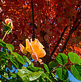 Rose In Autumn by Mick Anderson