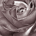 Rose In Black And White by Ben and Raisa Gertsberg