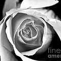 Rose In Black And White by John Rizzuto