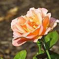 Rose In Bloom by Anita Adams