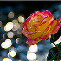 Rose In Dappled Afternoon Light by Mick Anderson