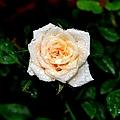 Rose In The Rain by Deena Stoddard