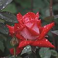 Rose In The Rain by Edward Kocienski